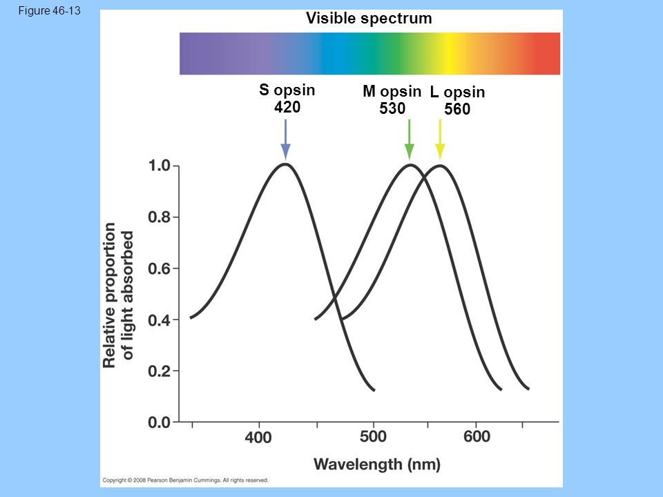 Figure 46-13 Visible spectrum S opsin 420 M opsin 530 L opsin 560