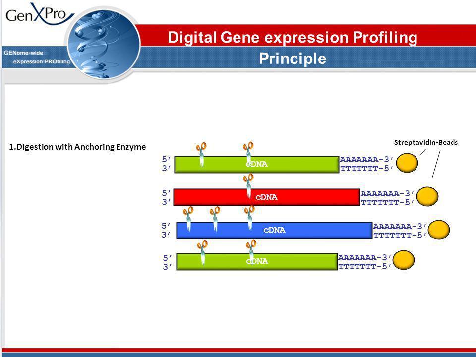5353 AAAAAAA-3 TTTTTTT-5 cDNA Streptavidin-Beads 5353 5353 5353 AAAAAAA-3 TTTTTTT-5 AAAAAAA-3 TTTTTTT-5 AAAAAAA-3 TTTTTTT-5 1.Digestion with Anchoring