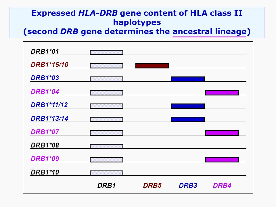 Expressed HLA-DRB gene content of HLA class II haplotypes (second DRB gene determines the ancestral lineage) DRB1DRB5DRB3DRB4 DRB1*10 DRB1*01 DRB1*15/