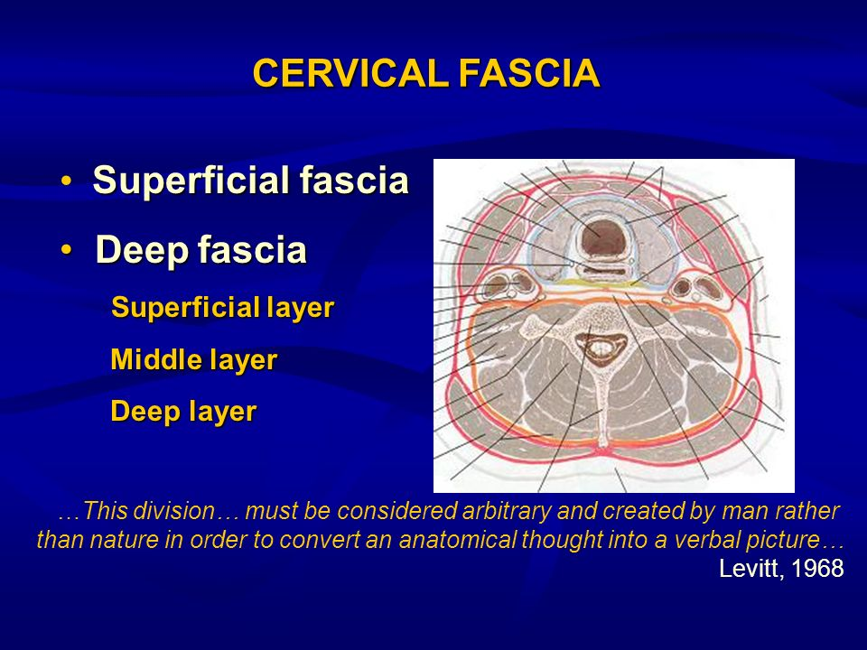 Superficial fascia Deepfascia Deep fascia Superficial layer Superficial layer Middle layer Deep layer CERVICAL FASCIA …This division… must be consider