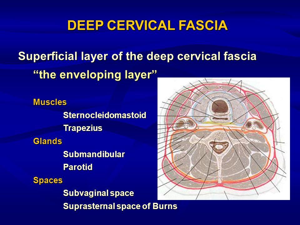 Superficial layer of the deep cervical fascia the enveloping layer MusclesSternocleidomastoidTrapeziusGlandsSubmandibularParotidSpaces Subvaginal spac