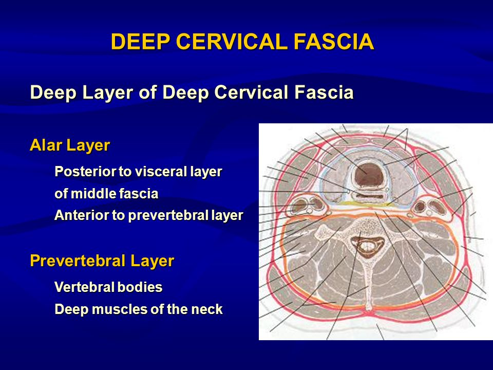 Deep Layer of Deep Cervical Fascia Alar Layer Posterior to visceral layer of middle fascia Anterior to prevertebral layer Prevertebral Layer Vertebral