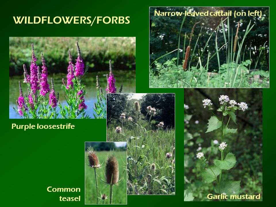 WILDFLOWERS/FORBS Purple loosestrife Common teasel Garlic mustard Narrow-leaved cattail (on left)