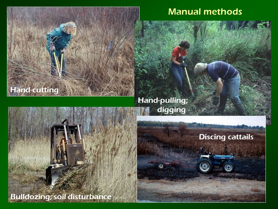 Manual methods Hand-cutting Bulldozing; soil disturbance Discing cattails Hand-pulling; digging
