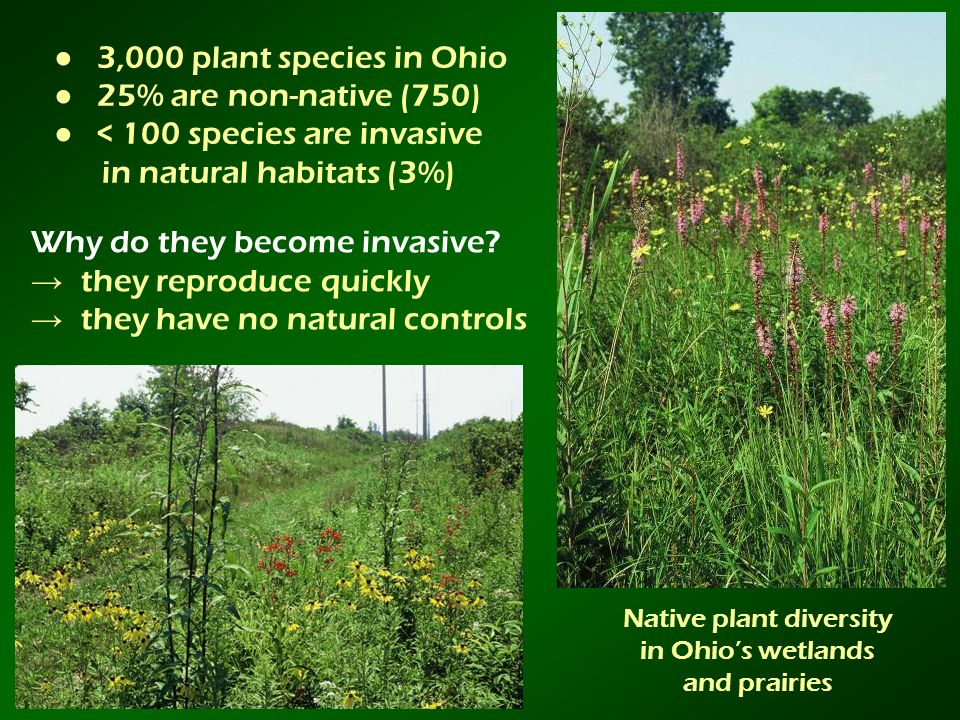 Native plant diversity in Ohios wetlands and prairies 3,000 plant species in Ohio 25% are non-native (750) < 100 species are invasive in natural habit
