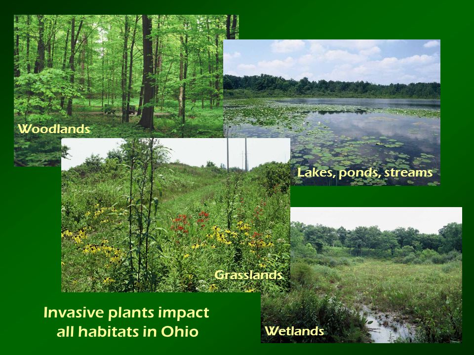 Invasive plants impact all habitats in Ohio Woodlands Wetlands Grasslands Lakes, ponds, streams