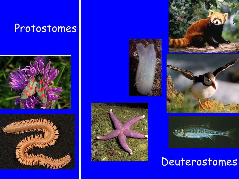 Protostomes Deuterostomes