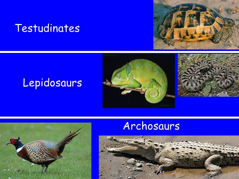 Testudinates Archosaurs Lepidosaurs