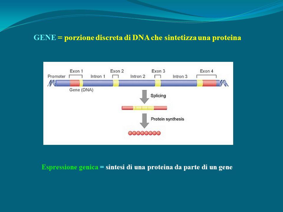 GENE = porzione discreta di DNA che sintetizza una proteina Espressione genica = sintesi di una proteina da parte di un gene