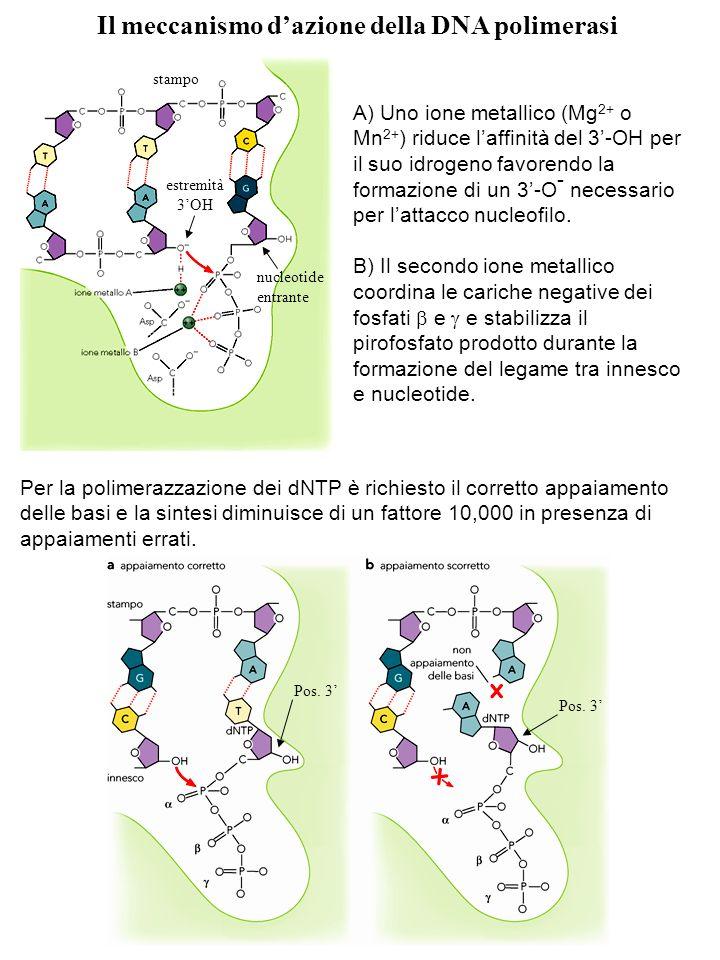 Il meccanismo dazione della DNA polimerasi A) Uno ione metallico (Mg 2+ o Mn 2+ ) riduce laffinità del 3-OH per il suo idrogeno favorendo la formazion