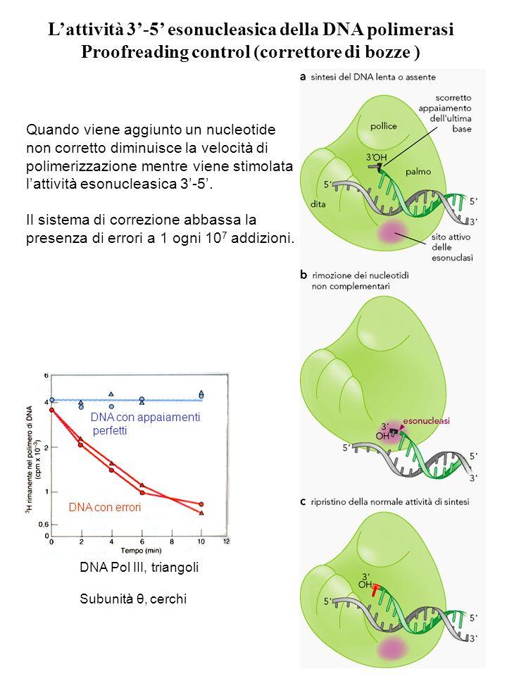 Quando viene aggiunto un nucleotide non corretto diminuisce la velocità di polimerizzazione mentre viene stimolata lattività esonucleasica 3-5. Il sis