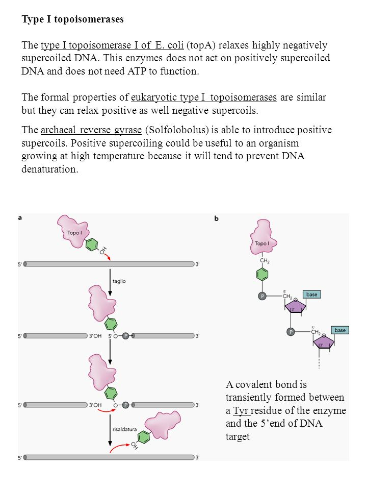 Type I topoisomerases The type I topoisomerase I of E. coli (topA) relaxes highly negatively supercoiled DNA. This enzymes does not act on positively