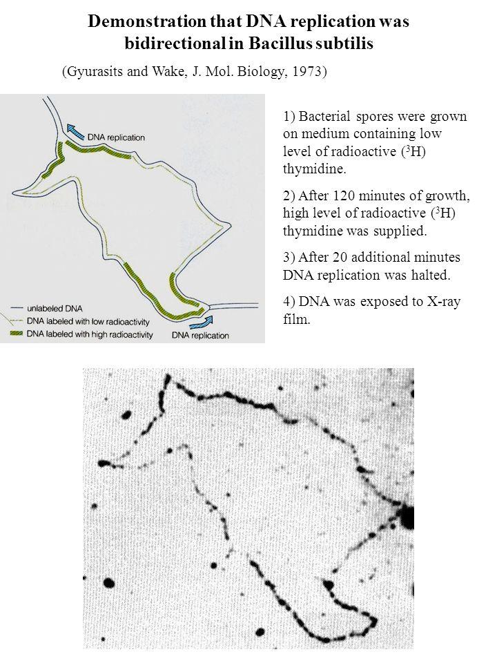 Demonstration that DNA replication was bidirectional in Bacillus subtilis (Gyurasits and Wake, J. Mol. Biology, 1973) 1) Bacterial spores were grown o