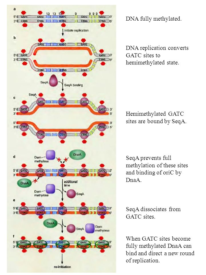 DNA fully methylated.DNA replication converts GATC sites to hemimethylated state.