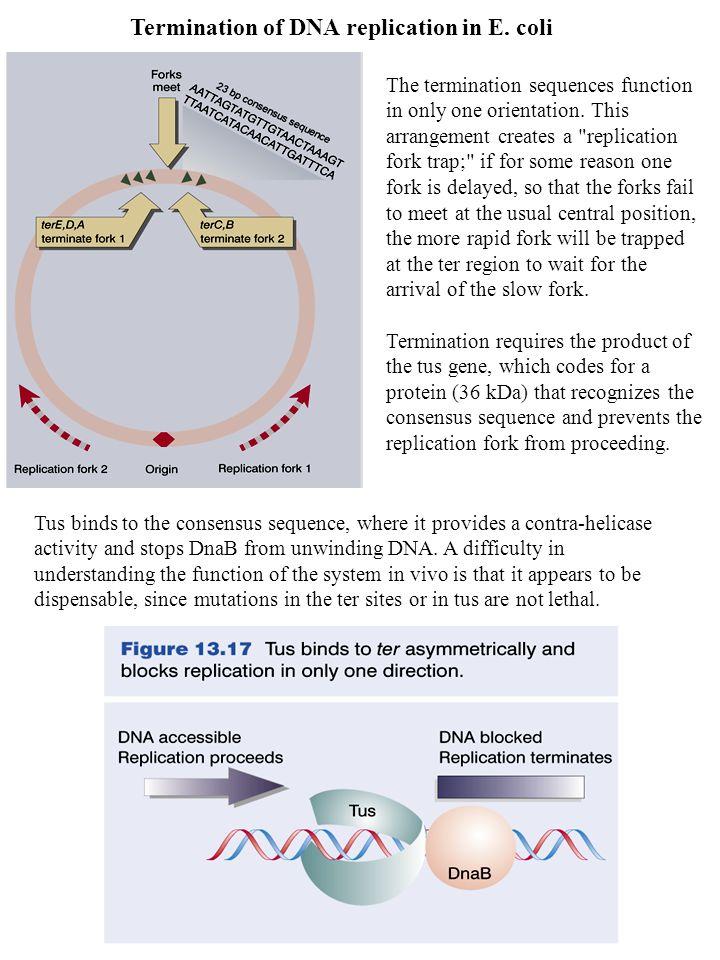 Termination of DNA replication in E.