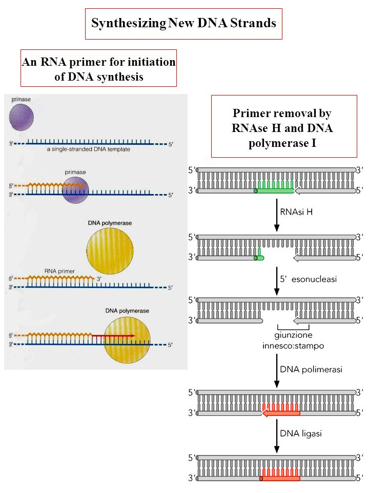 An RNA primer for initiation of DNA synthesis Primer removal by RNAse H and DNA polymerase I Synthesizing New DNA Strands