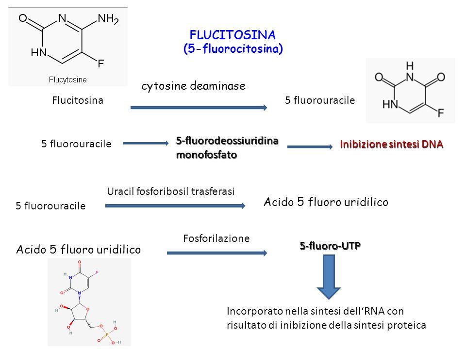 FLUCITOSINA (5-fluorocitosina) Flucitosina cytosine deaminase 5 fluorouracile 5-fluorodeossiuridina monofosfato Inibizione sintesi DNA 5 fluorouracile