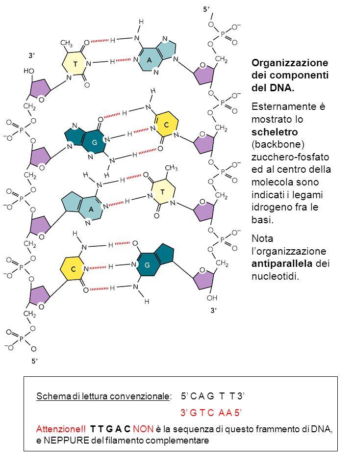 Organizzazione dei componenti del DNA. Esternamente è mostrato lo scheletro (backbone) zucchero-fosfato ed al centro della molecola sono indicati i le