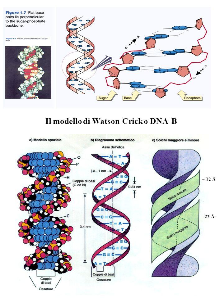 ~ 12 Å ~22 Å Il modello di Watson-Crick o DNA-B