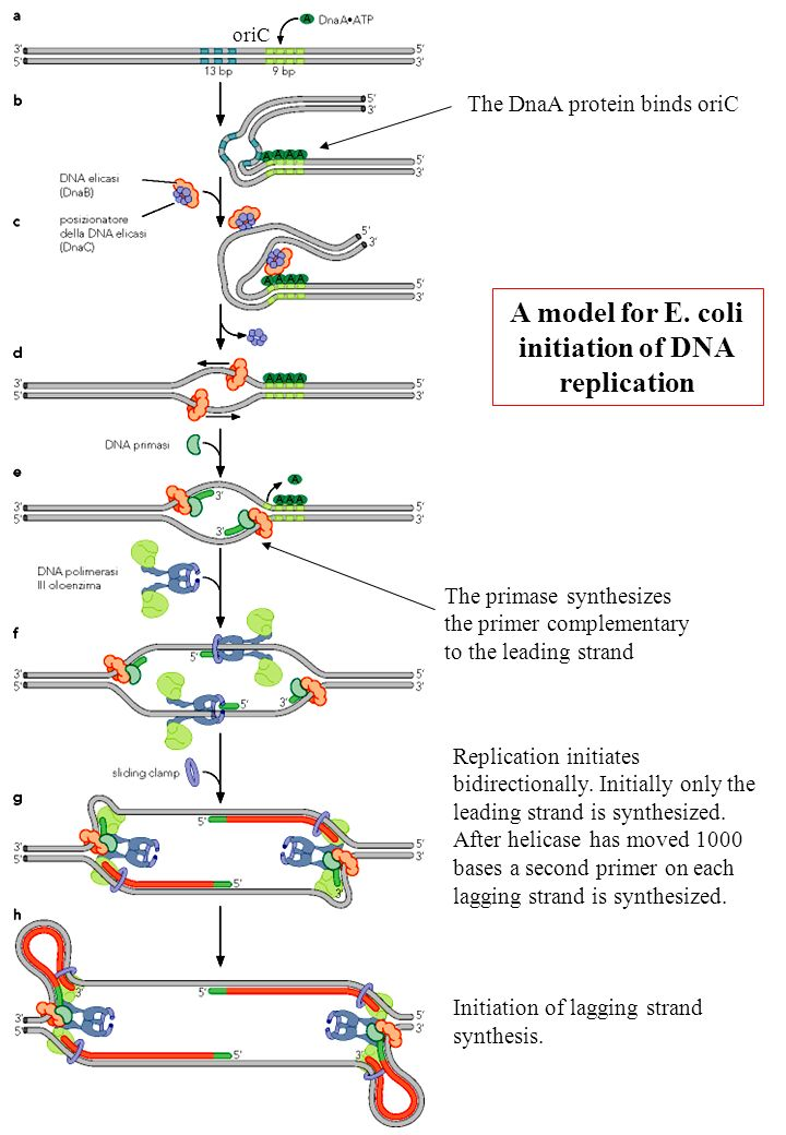 A model for E. coli initiation of DNA replication Replication initiates bidirectionally. Initially only the leading strand is synthesized. After helic