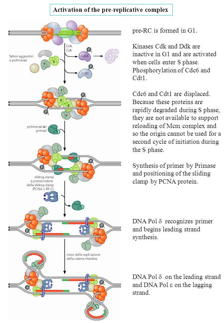pre-RC is formed in G1. Kinases Cdk and Ddk are inactive in G1 and are activated when cells enter S phase. Phosphorylation of Cdc6 and Cdt1. Cdc6 and