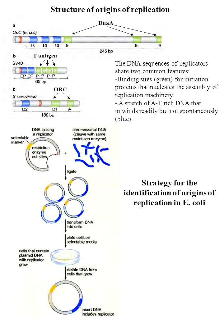 Strategy for the identification of origins of replication in E. coli Structure of origins of replication The DNA sequences of replicators share two co