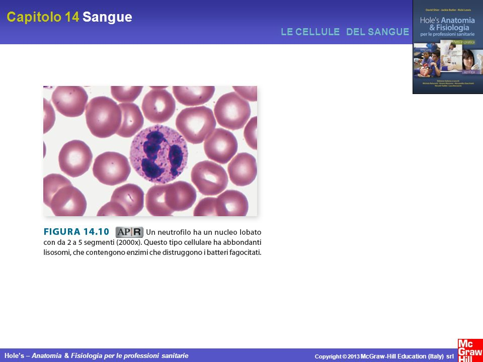 Capitolo 14 Sangue Holes – Anatomia & Fisiologia per le professioni sanitarie Copyright © 2013 McGraw-Hill Education (Italy) srl LE CELLULE DEL SANGUE