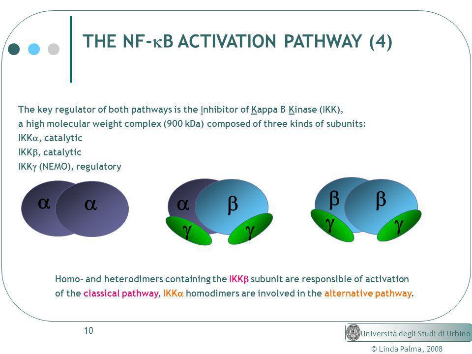 10 © Linda Palma, 2008 Università degli Studi di Urbino THE NF- B ACTIVATION PATHWAY (4) The key regulator of both pathways is the Inhibitor of Kappa