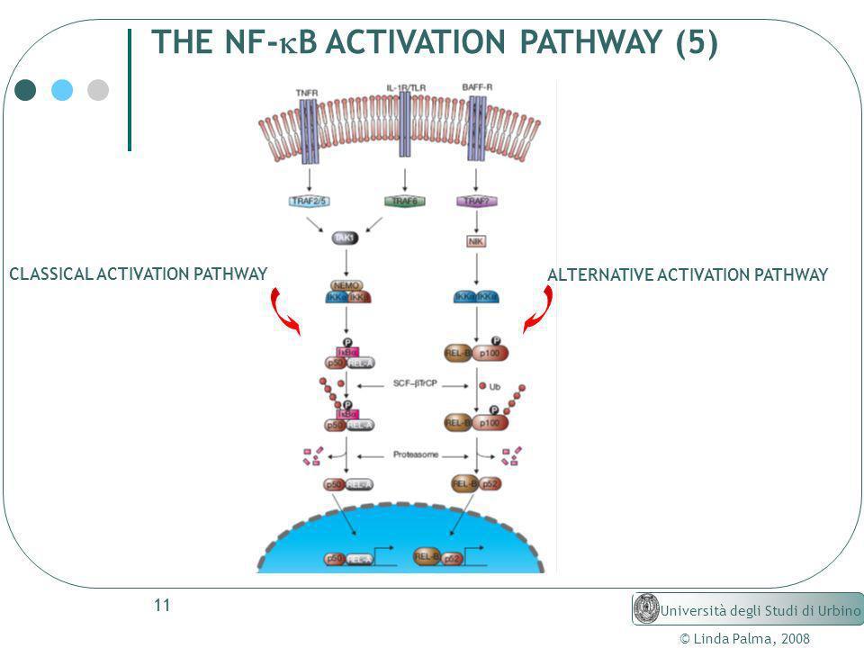 11 © Linda Palma, 2008 Università degli Studi di Urbino THE NF- B ACTIVATION PATHWAY (5) ALTERNATIVE ACTIVATION PATHWAY CLASSICAL ACTIVATION PATHWAY