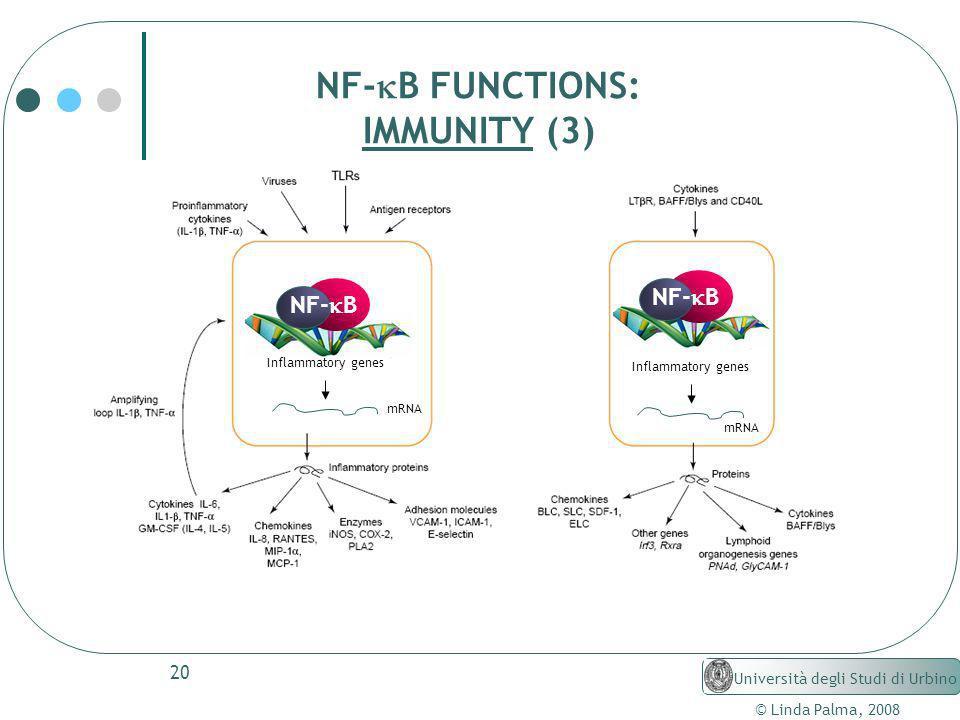 20 © Linda Palma, 2008 Università degli Studi di Urbino NF- B FUNCTIONS: IMMUNITY (3) NF- B Inflammatory genes mRNA Inflammatory genes mRNA