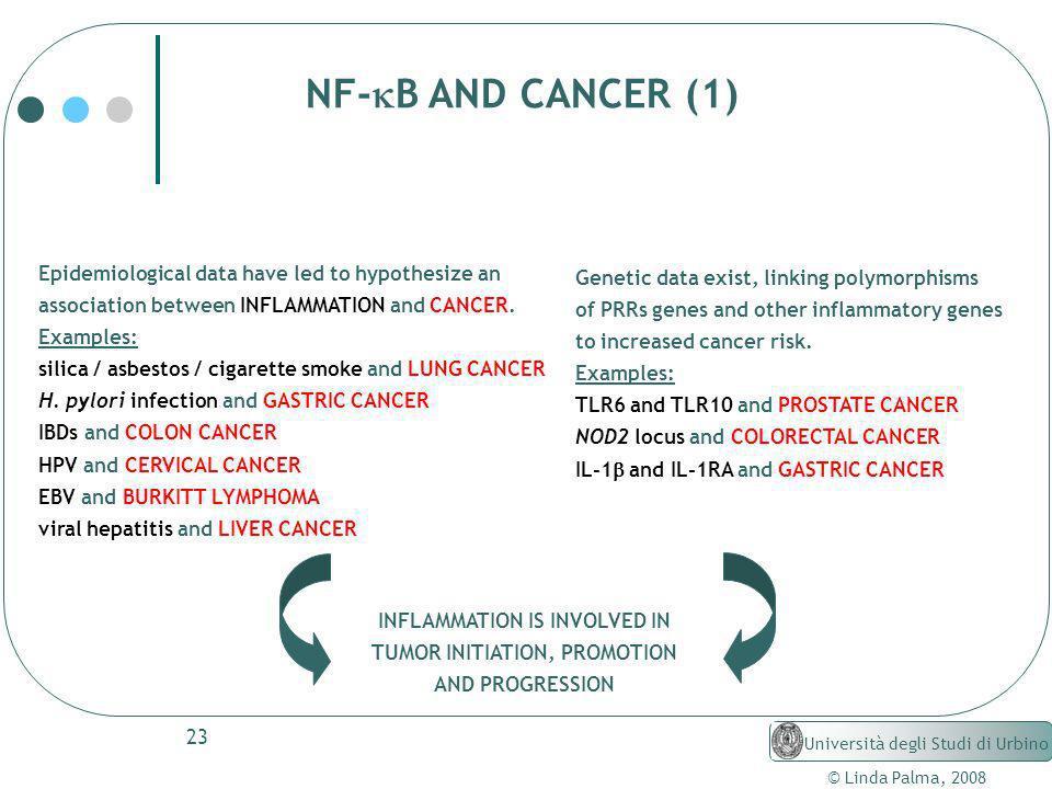 23 © Linda Palma, 2008 Università degli Studi di Urbino NF- B AND CANCER (1) Epidemiological data have led to hypothesize an association between INFLA