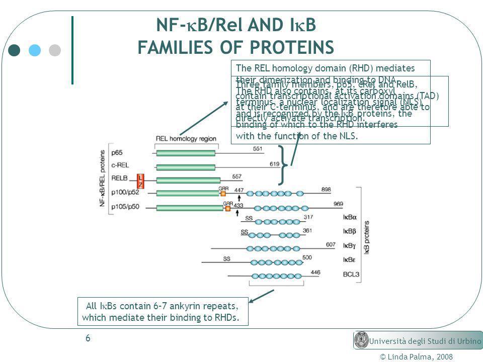 6 © Linda Palma, 2008 Università degli Studi di Urbino NF- B/Rel AND I B FAMILIES OF PROTEINS The REL homology domain (RHD) mediates their dimerizatio