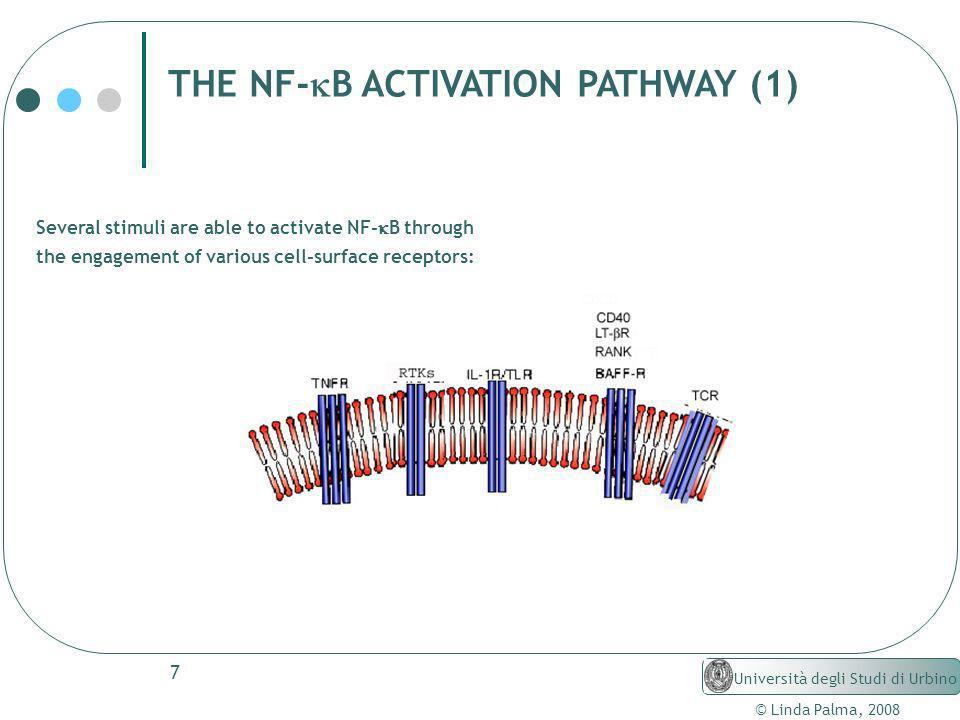 7 © Linda Palma, 2008 Università degli Studi di Urbino THE NF- B ACTIVATION PATHWAY (1) Several stimuli are able to activate NF- B through the engagem