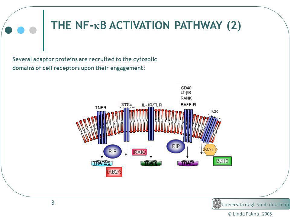 8 © Linda Palma, 2008 Università degli Studi di Urbino THE NF- B ACTIVATION PATHWAY (2) Several adaptor proteins are recruited to the cytosolic domain