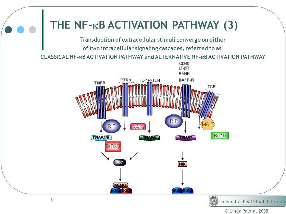 9 © Linda Palma, 2008 Università degli Studi di Urbino THE NF- B ACTIVATION PATHWAY (3) IRAKs RIP MALT Bcl10 TAB2/3 Transduction of extracellular stim