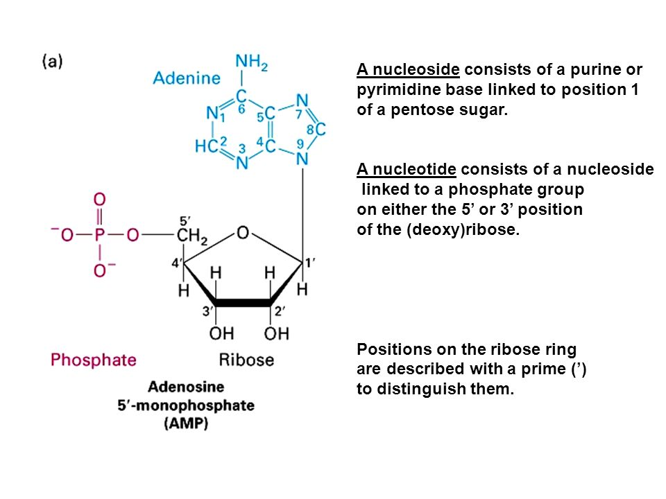 A nucleoside consists of a purine or pyrimidine base linked to position 1 of a pentose sugar. A nucleotide consists of a nucleoside linked to a phosph