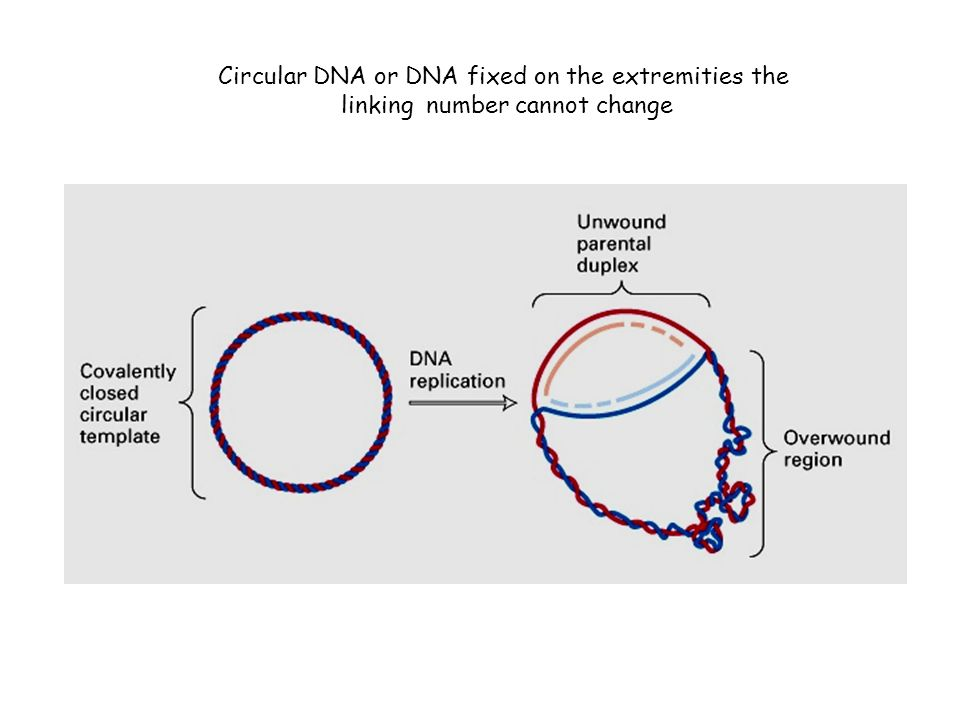 Circular DNA or DNA fixed on the extremities the linking number cannot change