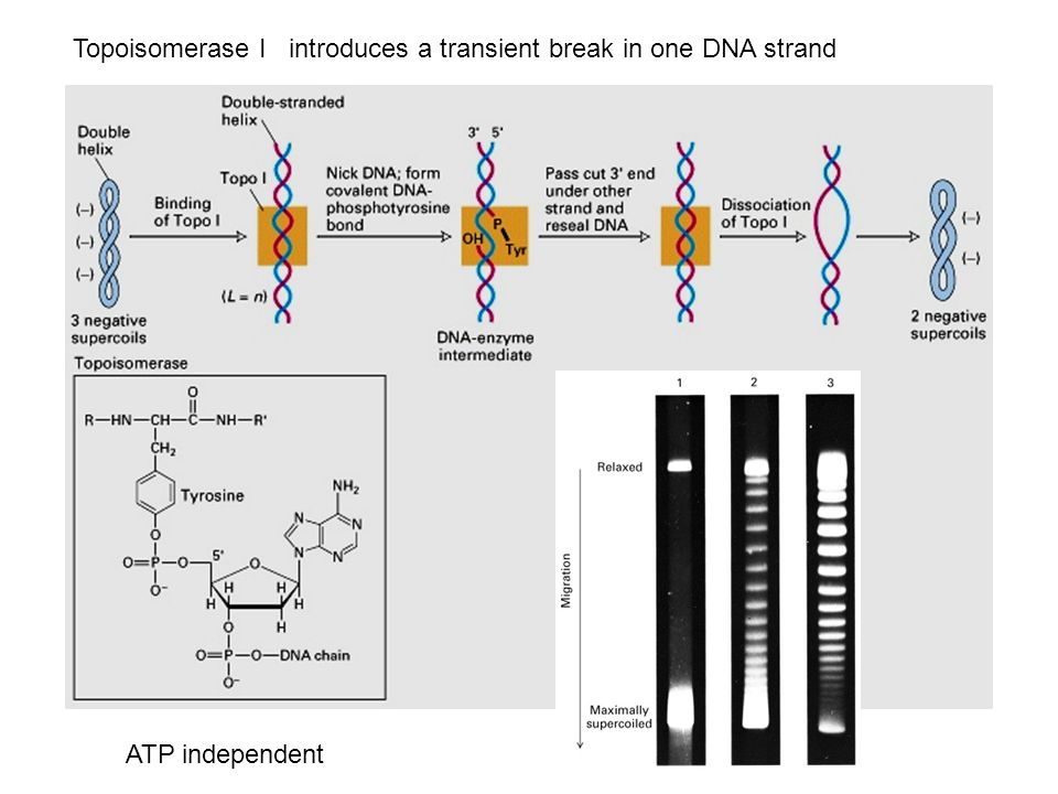 Topoisomerase I introduces a transient break in one DNA strand ATP independent