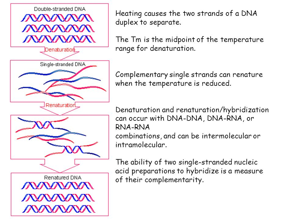 Heating causes the two strands of a DNA duplex to separate. The Tm is the midpoint of the temperature range for denaturation. Complementary single str