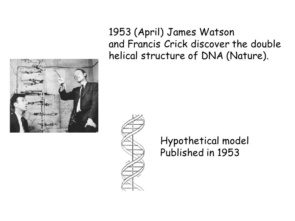 1953 (April) James Watson and Francis Crick discover the double helical structure of DNA (Nature). Hypothetical model Published in 1953