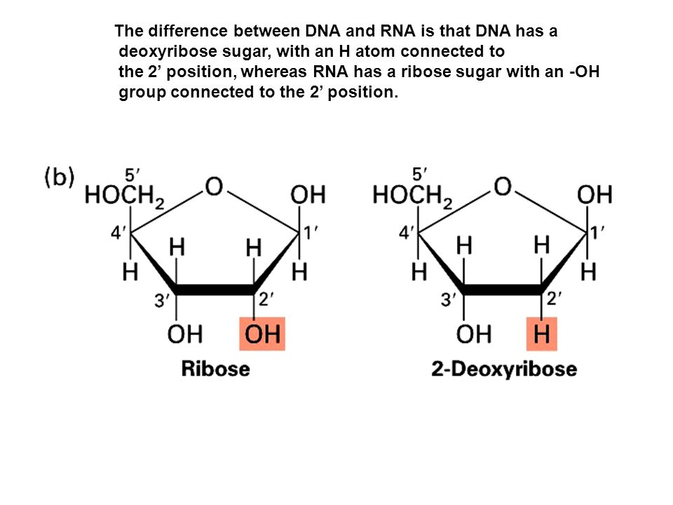 DNA contains the four bases adenine, guanine, cytidine, and thymine; RNA has uracil instead of thymine.