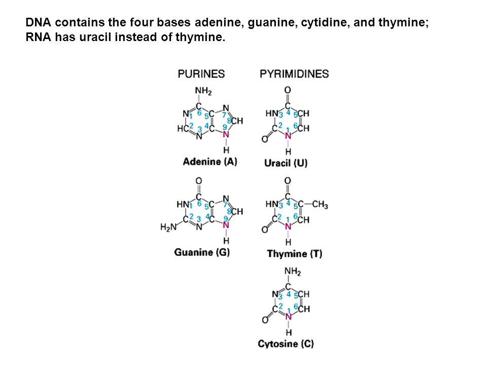 A nucleoside consists of a purine or pyrimidine base linked to position 1 of a pentose sugar.