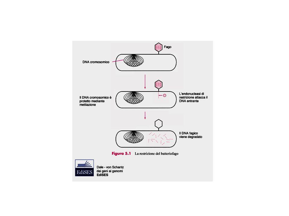Trasformazione = inserimento un DNA in un batterio o in un lievito Trasfezione = inserimento di un DNA In una cellula di eucarioti