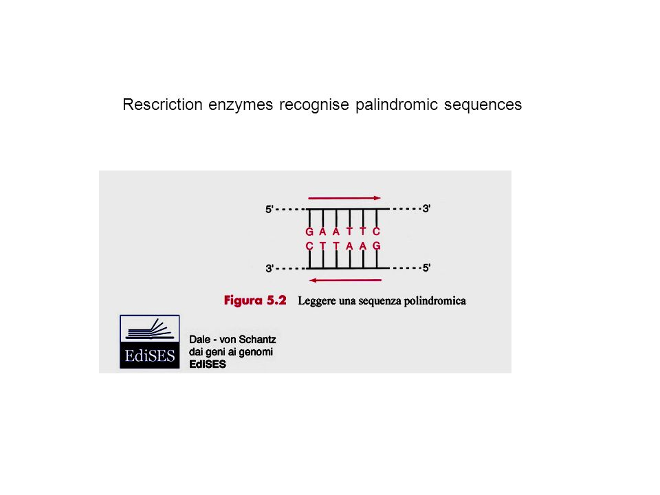 RESTRICTION ENZYMES Endonuclease site specific : recognizes 4-6-8 base pairs and cut in correspondence of the recognized site.