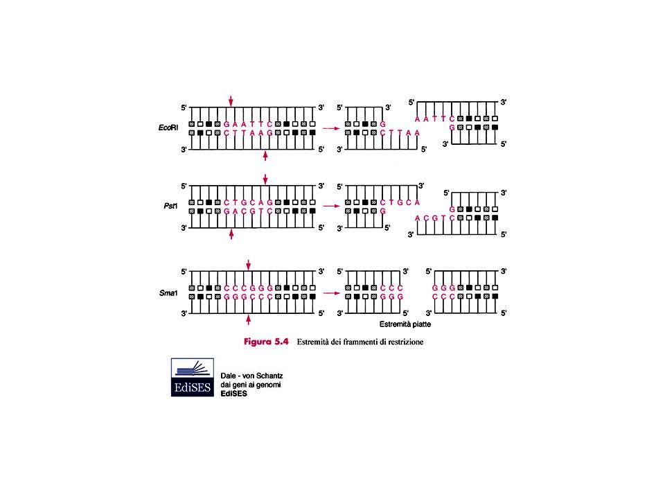Genoteca genomica = collezione del DNA di un genoma di un organismo in frammenti clonati