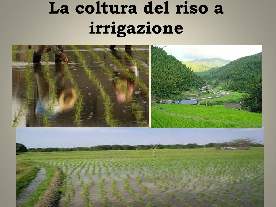 La coltura del riso a irrigazione