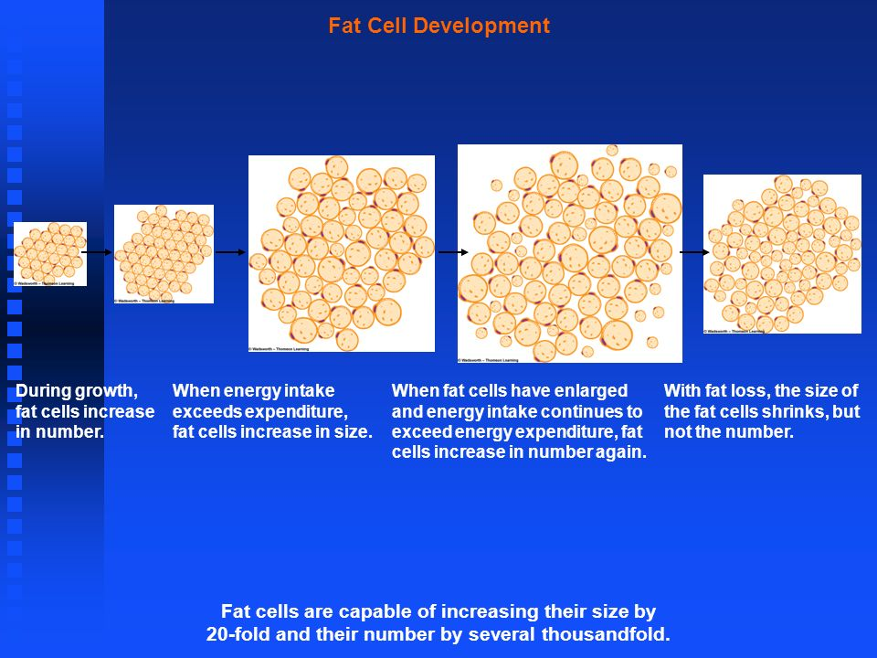 Fat Cell Development When fat cells have enlarged and energy intake continues to exceed energy expenditure, fat cells increase in number again. During