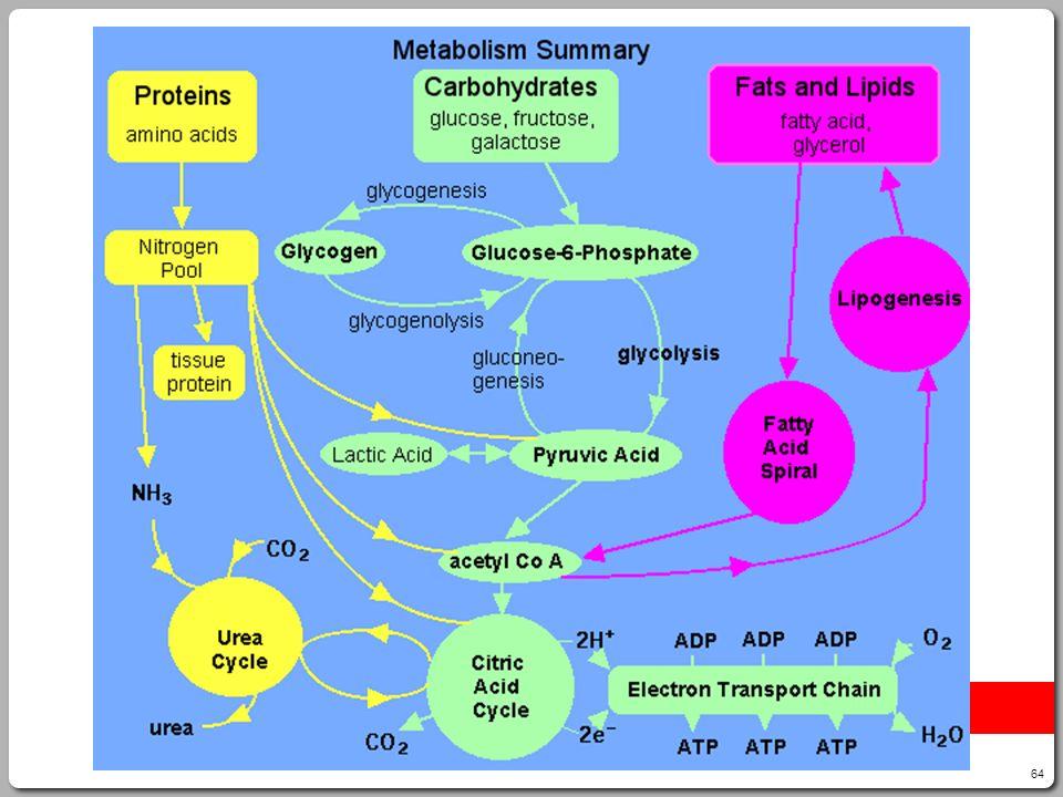 64 Protein Metabolism