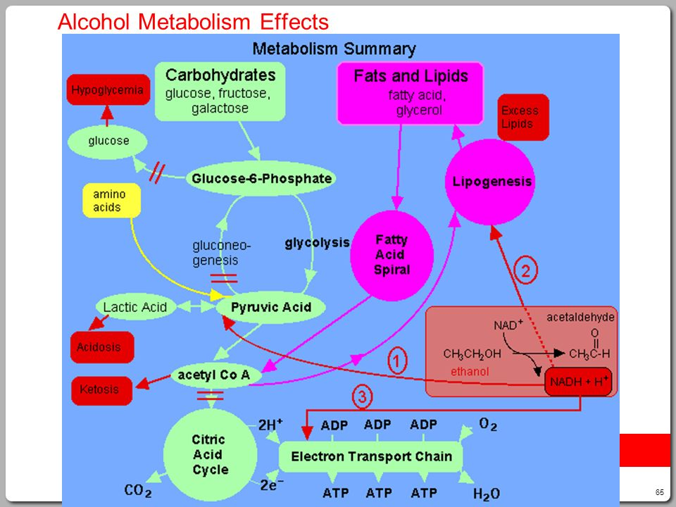65 Alcohol Metabolism Effects