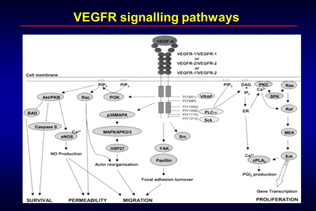 VEGFR signalling pathways